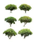 Geïsoleerde frangipani of plumeriaboom op witte achtergrond Stock Afbeelding