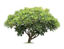Geïsoleerde frangipani of plumeriaboom op witte achtergrond Stock Fotografie