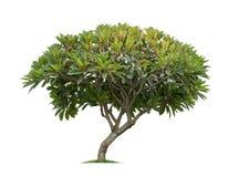 Geïsoleerde frangipani of plumeriaboom op witte achtergrond Stock Foto's