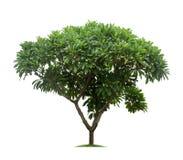 Geïsoleerde frangipani of plumeriaboom op witte achtergrond Royalty-vrije Stock Fotografie
