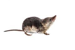 Geïsoleerde Gemeenschappelijke spitsmuis (Sorex-araneus) met het knippen van weg Stock Foto's