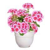 Geïsoleerde geranium, Royalty-vrije Stock Afbeeldingen