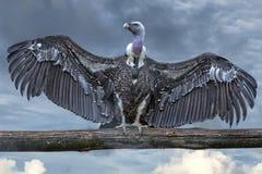 Geïsoleerde gier, buizerd die u bekijken Royalty-vrije Stock Foto