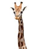 Geïsoleerde giraf stock afbeeldingen