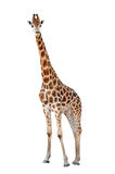 Geïsoleerde giraf Stock Foto