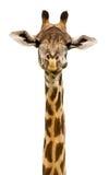 Geïsoleerde giraf Stock Foto's