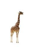 Geïsoleerde giraf Stock Fotografie