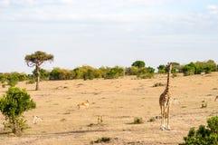 Geïsoleerde giraf in de savanne van Masai Mara Park in het Noorden Wes royalty-vrije stock foto's