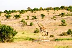 Geïsoleerde giraf dichtbij acacia in het park royalty-vrije stock afbeelding