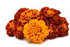 Geïsoleerde goudsbloemen Stock Afbeelding