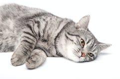 Geïsoleerde grijze kat Stock Afbeeldingen