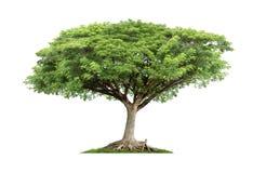 Geïsoleerde groene boom op witte achtergrond Stock Foto