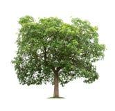 Geïsoleerde groene boom op witte achtergrond Royalty-vrije Stock Fotografie