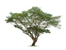 Geïsoleerde groene boom op witte achtergrond Royalty-vrije Stock Foto's