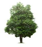 Geïsoleerde groene boom op witte achtergrond Royalty-vrije Stock Afbeeldingen