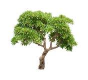 Geïsoleerde groene boom op witte achtergrond Stock Fotografie