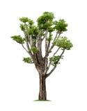 Geïsoleerde groene boom op witte achtergrond Royalty-vrije Stock Afbeelding