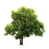 Geïsoleerde groene boom op witte achtergrond Royalty-vrije Stock Foto