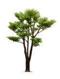Geïsoleerde groene boom op witte achtergrond Stock Foto's