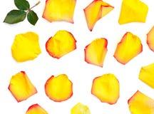 Geïsoleerde helder nam bloemblaadjes toe Stock Foto