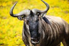 Geïsoleerde het meest wildebeest in Tanzania Stock Afbeelding