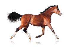 Geïsoleerde het paard van de baai Royalty-vrije Stock Foto