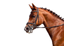 Geïsoleerde het paarddressuur van de kastanje Royalty-vrije Stock Fotografie