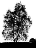 Geïsoleerde het silhouet van de berkboom Stock Fotografie