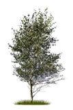 Geïsoleerde het silhouet van de berkboom Stock Afbeelding