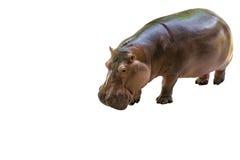 Geïsoleerde Hippopotamus stock foto