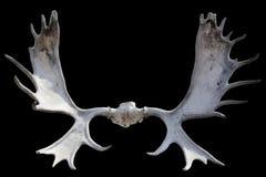 Geïsoleerde hoornen van Amerikaanse elanden stock afbeelding