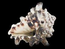 Geïsoleerde invidiamacro van zeeschelpmurex Royalty-vrije Stock Foto's