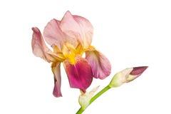 Geïsoleerde iris Stock Foto