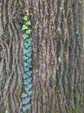 Geïsoleerde Ivy Clinging aan Boomschors Stock Fotografie