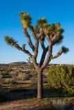 Geïsoleerde Joshua-boom in het woestijnlandschap van de Mojave-Woestijn royalty-vrije stock fotografie