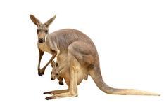 Geïsoleerde kangoeroe Royalty-vrije Stock Foto's