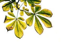 Geïsoleerde kastanjeboom - royalty-vrije stock afbeelding
