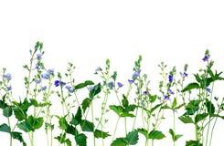 Geïsoleerde kleine purpere bloemen De naam van de bloem is Veronic Stock Foto