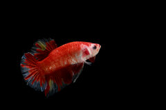 Geïsoleerde kleurrijke het vechten vissen op zwarte achtergrond Stock Foto