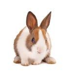 Geïsoleerde konijntje Royalty-vrije Stock Foto's