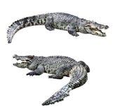 Geïsoleerde krokodillen Royalty-vrije Stock Foto