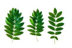 Geïsoleerde lijsterbessen ashberry bladeren Royalty-vrije Stock Afbeeldingen