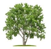 Geïsoleerde lindeboom Stock Afbeelding