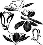 Geïsoleerde magnoliabloemen Stock Afbeeldingen