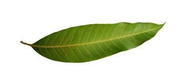 geïsoleerde mangobladeren Stock Afbeeldingen