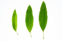 3 geïsoleerde mangobladeren Stock Afbeelding