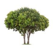 Geïsoleerde Mangoboom op witte achtergrond Stock Afbeelding
