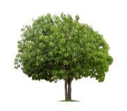 Geïsoleerde Mangoboom op witte achtergrond Royalty-vrije Stock Fotografie