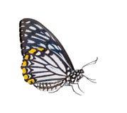 Geïsoleerde mannelijke gemeenschappelijk bootst vlinder na Stock Foto