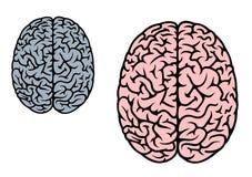 Geïsoleerde menselijke hersenen Royalty-vrije Stock Afbeeldingen